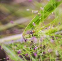 Fotografía Araña Salticidae. Un proyecto de Fotografía de Fredy Rosero         - 31.01.2015
